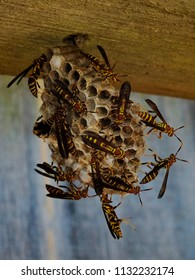 A nest of busy paper wasps - Raleigh North Carolina