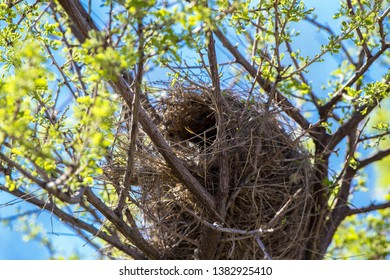 Nest of a Cactus Wren in southern Arizona