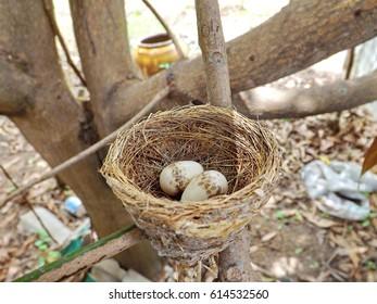 Nest and eggs of bird