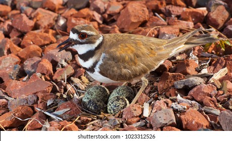 Nest and eggs from a killdeer being closely guarded by the bird