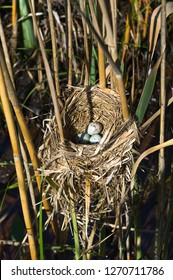 The nest and eggs of a Red-winged Blackbird attached to reeds at the edge of a marsh.  The Red-winged Blackbird is found across most of North America.