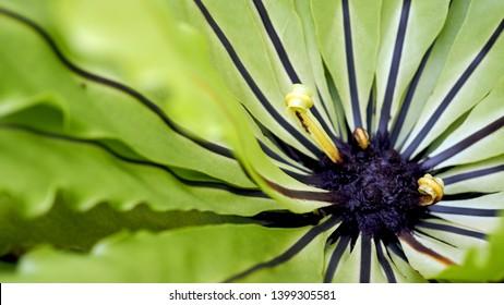 Bird's nest fern. Beautiful circle Bird's nest fern leave close up.