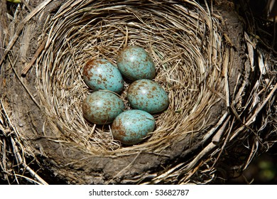 Nest of the fieldfare (Turdus pilaris) with five green eggs.