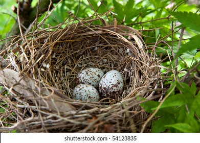 A nest filled with three Cardinal bird eggs in the branches of a Chinese Elm tree.