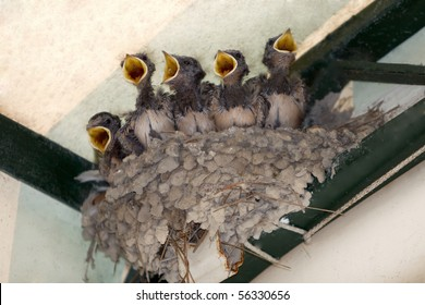 Nest with five young swallow