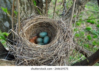 Nest of forest blackbird with green eggs in early spring forest