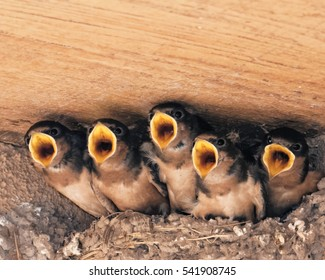 A nest full of baby Barn Swallows almost ready to go out on their own. They hear a parent approaching and compete to be the one that gets the food.