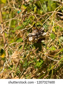 Nest of German wasp, European wasp, or German yellow jacket (Vespula germanica) wasps in  a shrubby bush with wasps stinging if disturbed with a painful sting   now a pest in southern Australia.