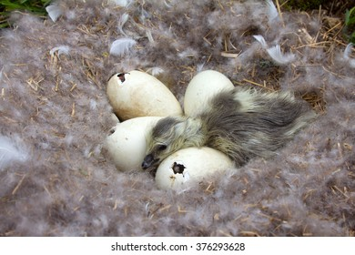 In nest of goose (Barnacle goose, Branta leucopsis) hatching occurs. Drying up Goosey and  pipping eggs in nest with down and feathers