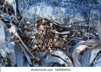 A nest of gumnuts in the forest