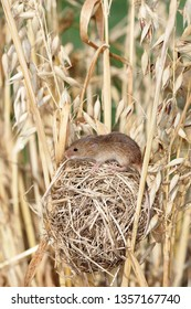 Nest of Harvest Mouse