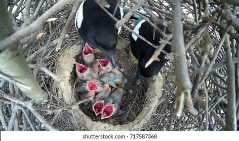 The nest of the Magpie (Pica pica) in nature.