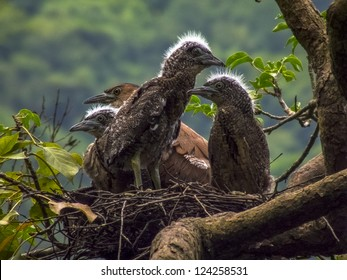 Nest of a Malay Night Heron