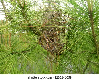 Nest of a pine processionary moth (Thaumetopoea pityocampa) on a pine tree. It's the one of the most destructive species to pines and cedars in Central Asia, North Africa and southern Europe