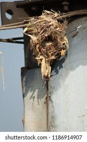 Nest of purple sunbird (Cinnyris asiaticus). Sasan Gir. Gujarat. India.