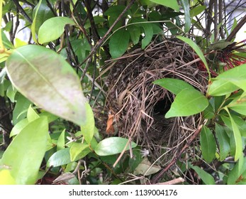The nest of sparrows made of dried leaves and straws sitting on the branches of a shrub.