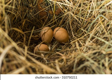 A nest of straw yellow chicken eggs