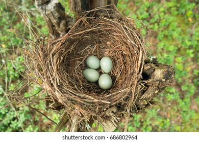 Nest of thrush (Turdus) with eggs. Top view.