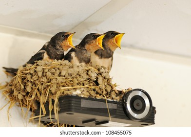 Nest with young swallows