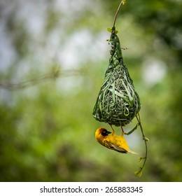 Nest-building