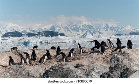 Nesting Adelie Penguin colony, Yalour Islands, Antarctic Peninsula