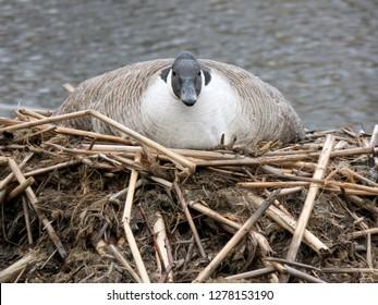 Nesting Canadian goose (branta canadensis) on beaver lodge.