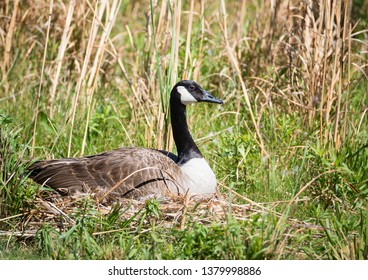 Nesting Canadian Goose sitting on her eggs in the reeds. Natural grassy lake shore background.
