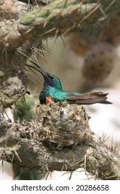 Nesting hummingbird in cactus