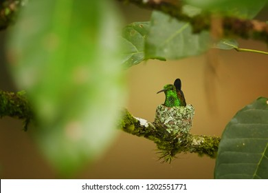 Nesting hummingbird with coppery colored wings and tail, Copper-rumped Hummingbird, Amazilia tobaci, sitting on a small nest among leaves. Rainforest of caribbean island Trinidad. Trinidad and Tobago.