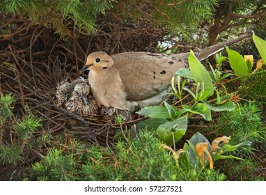 Nesting Mourning Dove bird with squabs