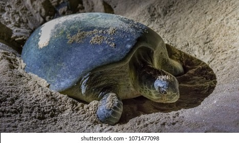 The nesting process of green turtles at Ras al Jinz Turtle Beach Reserve, near Sur, in Oman