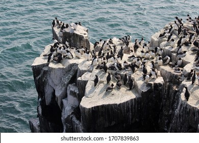 nesting seabirds on the farne islands cliff covered in guillemots
