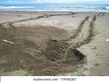 The nesting site and tracks of a green sea turtle (Chelonia mydas) that came onto the beach to lay eggs. Tortuguero National Park, Costa Rica.