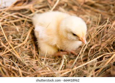nestling chick. farm chicken.baby
