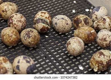 The nestling of the Japanese quail to get out of the shell