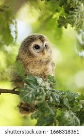 Nestling of tawny owl - Strix aluco sit on branch of oak tree, Czech republic