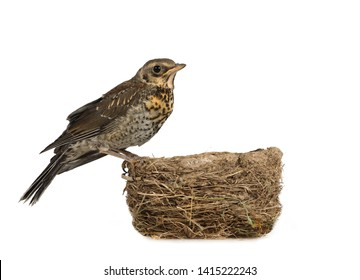 Nestling thrush fieldfare sitting on the edge of the nest isolated on a white background