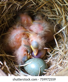 nestlings of the Blackbird is sleeping in the nest