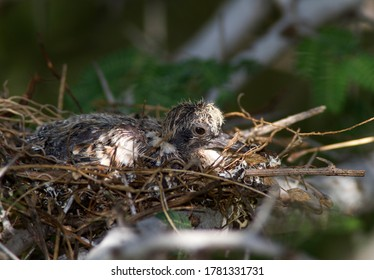 The nests of all doves are basic stick platforms and offers little protection for the chick or eggs from the elemants or predation. This is an Emerald-spotted Wood-Dove flegdling sitting tight