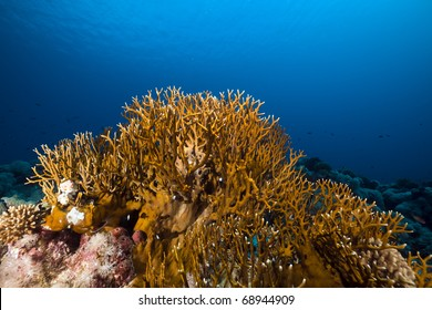 Net fire coral and marine life in the Red Sea.