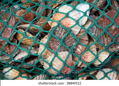 A net full of fresh scallops at a fish market