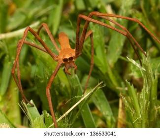 Net-casting Spider ( Deinopis subrufa )