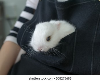 Netherland dwarf rabbit, call ND in short word. color is white with blue eye . age baby 49 days. stay in front cloth bag.