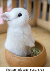 Netherland dwarf rabbit, call ND in short word. color is white with blue eye. age baby 43 days. stand with two legs in food bowl.