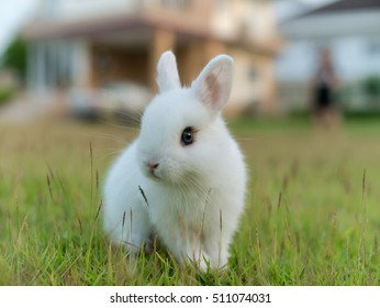 Netherland dwarf rabbit, call ND in short word. color is white with blue eye . age baby 54 days. Standing in lawn.