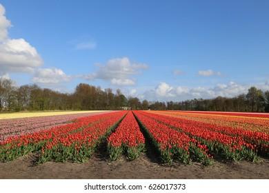 The NETHERLANDS - 15 APR: Visiting Tulip field outside Keukenhof, the Netherlands on 15 April 2017