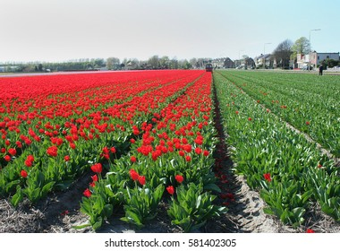 Netherlands, Agriculture, april 2016 :  Flower bulbs is an important product for the Dutch export industry, nice colorfull fields attract tourisme