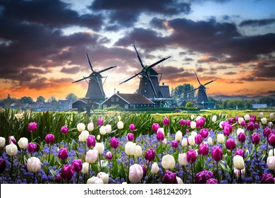 Netherlands landscape with beautifull violet and white tulips flowers. Dutch windmills, water mill houses near the canal in Zaanse Schans postcard.