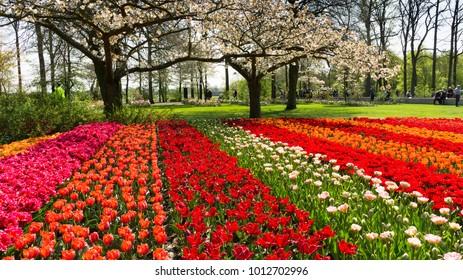 NETHERLANDS, LISSE - CIRCA APR 2011 - Tulips in Dutch public Spring flower Garden 'Keukenhof' at Lisse, Zuid Holland