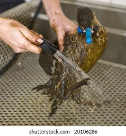 NETHERLANDS - OCT 9: An oil contaminated guillemot is cleaned at a local bird santuary October 9, 2008 in northern Netherlands.